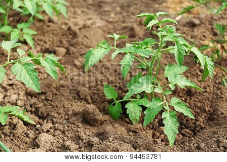 Growing tomatoes on bed