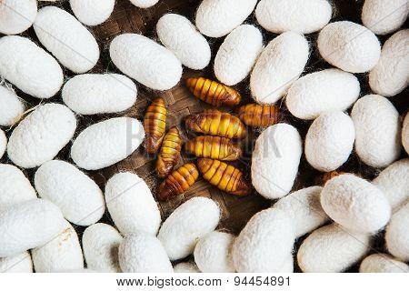 Closeup Of Silkworm Pupae, Life Cycle Of Silkworm