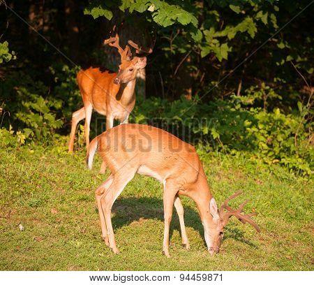 Hungry Bucks