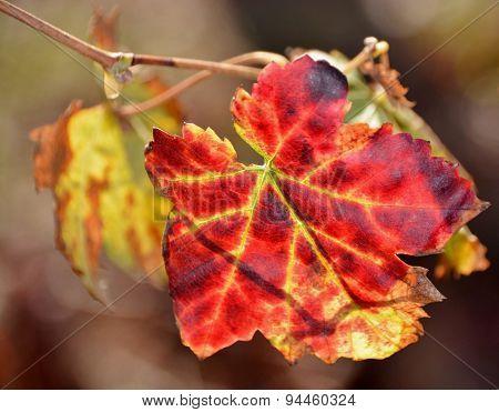 Red Wine Grape Leaf...