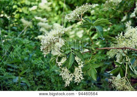 Fresh Elderflower