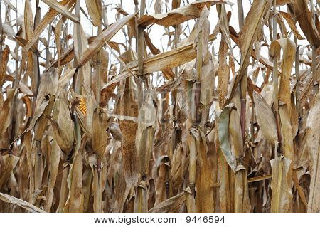 Fall Corn Field Horizontal