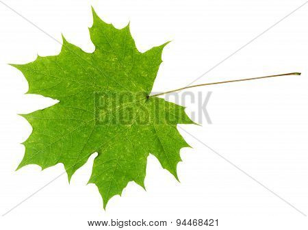 Natural Green Maple Leaf Isolated On White