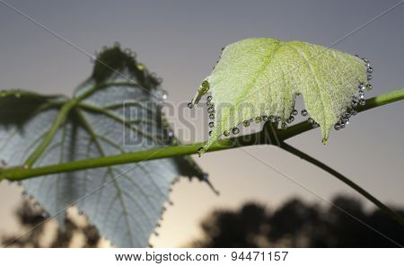 Wet Grapevine