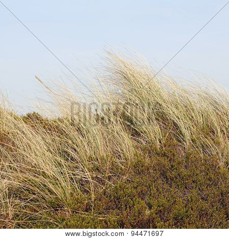 Beach Grass And Crowberry In The Dunes On The Island Of Sylt, Germany