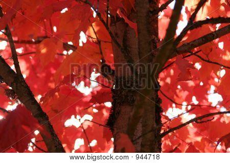 Red Leaf- Fall 10
