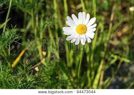 One White Daisy Against A Green Grass
