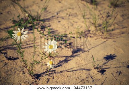 Bush Lonely Daisy Against Sand With Retro Effect