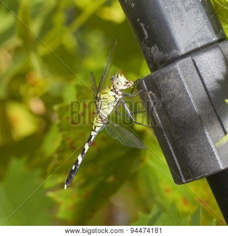 Eating Dragonfly