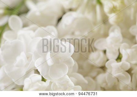 macro photo of white lilac flowers