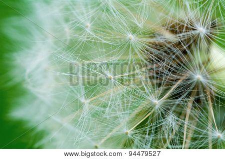 Detail Of Flowering Dandelions