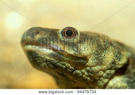 Head Salamander
