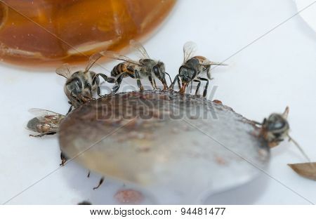 Honey bees (Apis) collecting honey from spoon