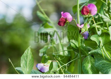 Photo Flowering Sweet Pea