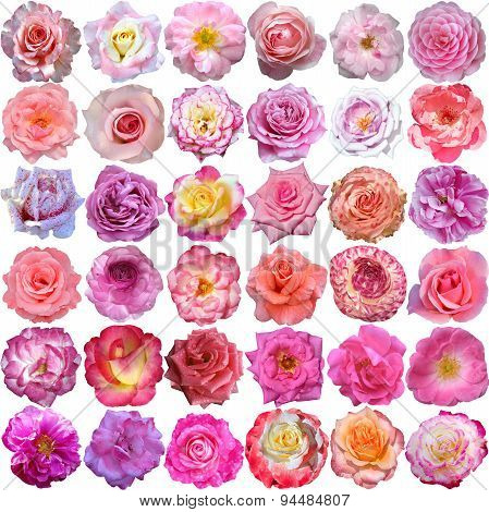 The Big Set Of Roses Blooms
