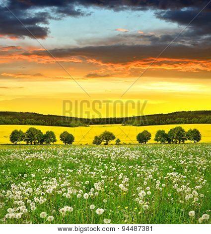 Dandelions field in the sunset. Spring season.