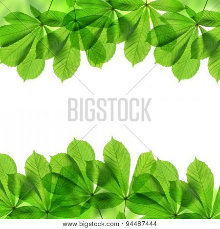 Frame from green leaves of chestnut tree isolated