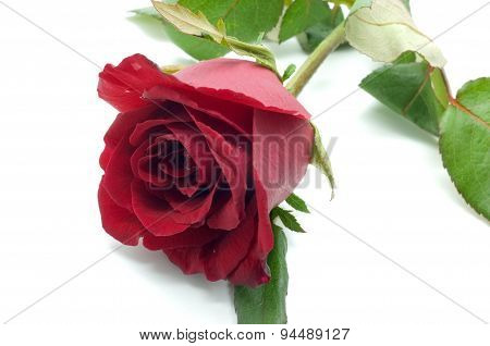 Natural red and pink rose