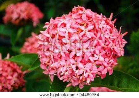 Pink Ixora In The Garden.
