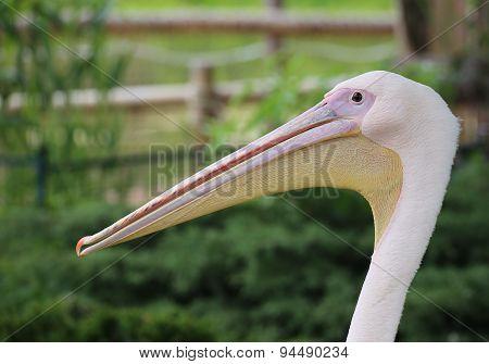 Rosy Pelican Portrait