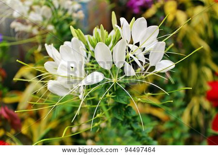 White spider flower