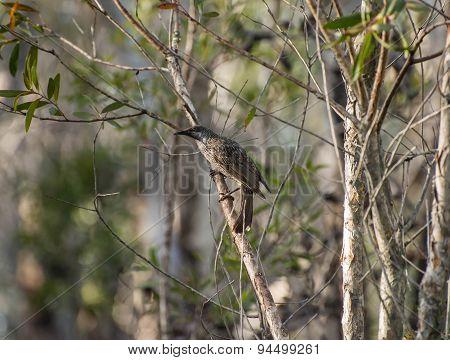 Little Brush Wattle Bird