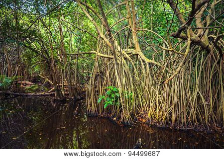 Wild Tropical Forest Landscape, Mangrove Trees