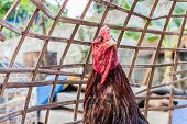 stock photo of fighting-rooster  - Cockfight in the Coop at Asia Thailand - JPG