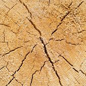 image of cross-section  - Rough pine - JPG