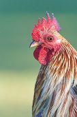 stock photo of fowl  - Red Jungle Fowl Head Shot - JPG