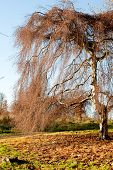foto of willow  - Willow tree in the fall standing on a carpet of orange leafs  - JPG
