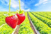 foto of strawberry plant  - Close up shot strawberry with planting strawberry background - JPG