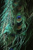 pic of rainforest animal  - Green peafowl  - JPG