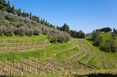 stock photo of row trees  - Agricolture rows of wine and olive trees Marostica hills Italy - JPG