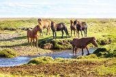 foto of iceland farm  - Horses in a green field of grass at Iceland Rural landscape - JPG