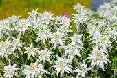 pic of edelweiss  - Leontopodium alpinum - JPG