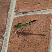 picture of dragonflies  - Dragonfly with a green body and head sitting on bricks - JPG