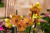 picture of yellow orchid  - Beautiful yellow and pink tropical orchid close up - JPG