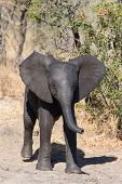 picture of calves  - Elephant calf drinking water on a dry and hot day - JPG