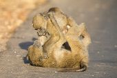 image of anubis  - Young baboons playing in a road late afternoon before going back to their tree - JPG