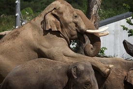 foto of indian elephant  - Indian elephants  - JPG