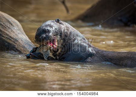 Giant River Otter Eating Fish In River