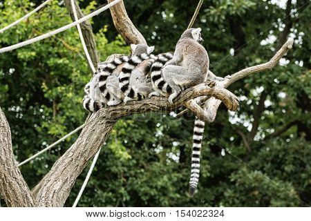 Group of Ring-tailed lemurs - Lemur catta - resting on the tree branch. Beauty in nature.