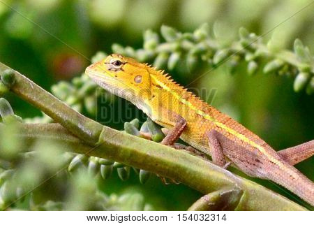 Gecko on a green leaf palm in forest Tailand