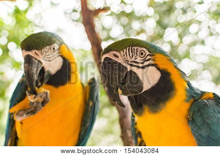 Closeup portrait of blue and gold macaw parrot birds in shallow depth of field
