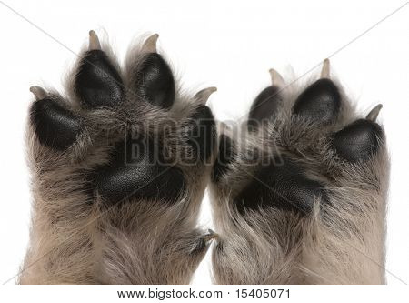 Close-up of puppy's paws, 4 weeks old, in front of white background