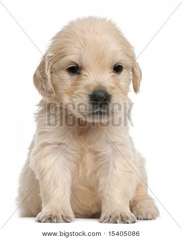 Golden Retriever puppy, 4 weeks old, sitting in front of white background