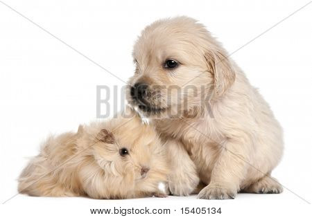 Golden Retriever puppy, 4 weeks old, and young Peruvian guinea pig, 2 months old, in front of white background