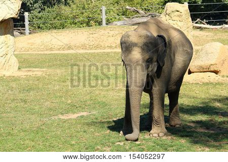 Photography of single male Asian or Asiatic elephant calf - baby (5 month old) standing on grass in shadow of tree to hide from direct sunlight; Elephas maximus with copyspace