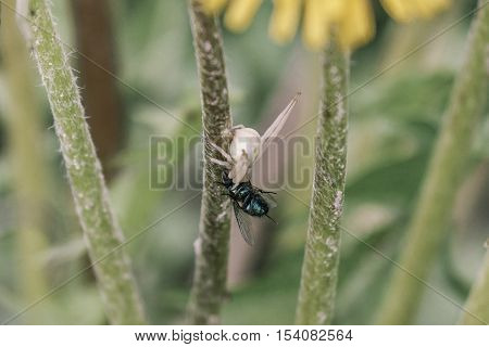 Hunting predatory spider. The female spider caught with a fly. Natural background.